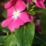 Annual Vinca Plant Blooming