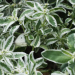 Euphorbia marginata (Snow-On-The-Mountain)