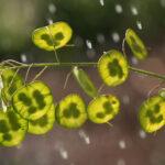Epipremnum aureum (Money plant)