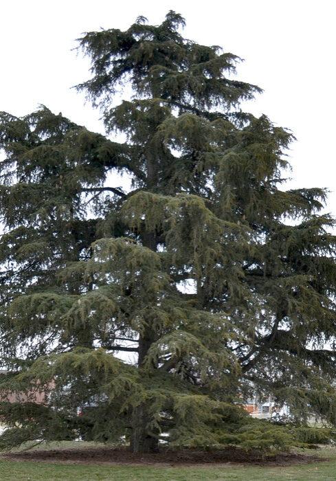 Cedrus Libani ssp. stenocoma 'Purdue Hardy' (Cedar of Lebanon)
